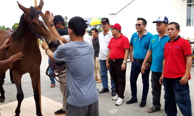 Salah satu kuda yang ikut berpaca di Gelanggang Kubu Gadang.