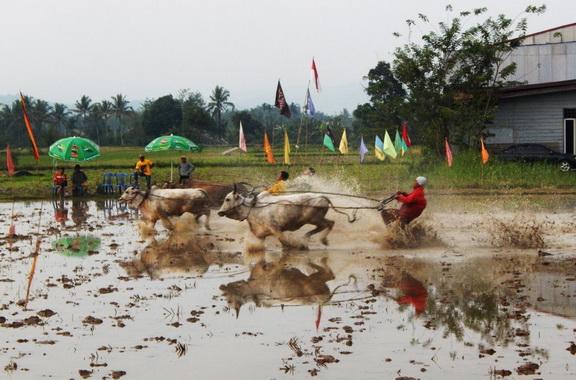 Pacu Jawi di Kota Payakumbuh.