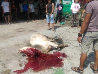 Penyembelihan sapi qurban di Masjid Besar Kota Solok.