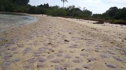 Ubur-ubur yang ditemukan mati di pantai Mandeh dan Sungai Pisang.