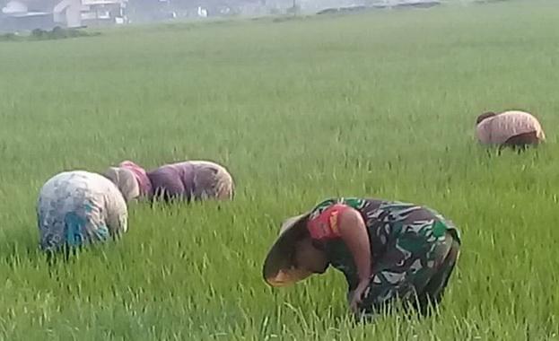 Babinsa Boyolali saat turun ke sawah masyarakat.