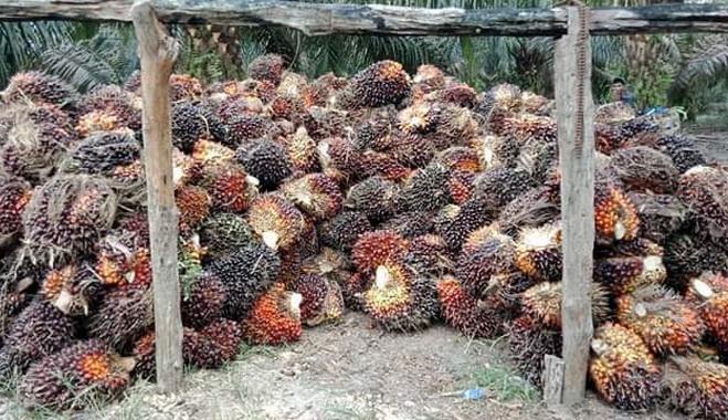 Tandan buah segar kelapa sawit.