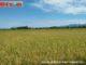 Areal persawahan di Kec. Lengayang, Pesisir Selatan.
