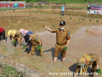 Walikota Sawahlunto Deri Asta ketika melakukan penanaman padi bersama kelompok tani batang kaluak Desa Kolok nan tuo, Kecamatan barangin.