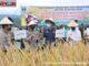 Gubernur dan Kapolda Sumbar pada panen raya padi di Kab. Tanah Datar.