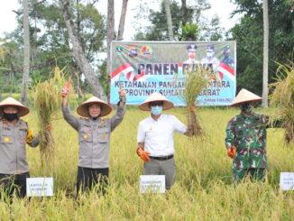Panen raya padi di Sungai Pisang, Padang.