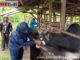 Pemeriksaan hewan kurban di Pariaman.