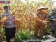 Wako Genius Umar saat panen raya jagung di Kota Pariaman.