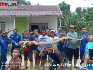Seekor ular piton diamankan petugas Damkar Payakumbuh dari area pemukiman masarakat.
