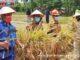 Wako Bukittinggi lakukan panen raya di areal pertanian Keltan Ngarai Saiyo.