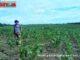 Mirwan Pulungan di tengah ladang jagungnya.