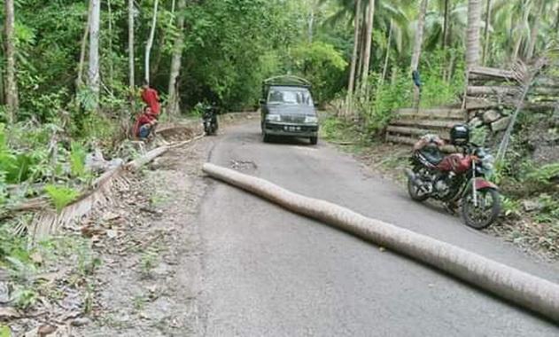 Pohon kelapa yang tumbang dan lintang di jalan.