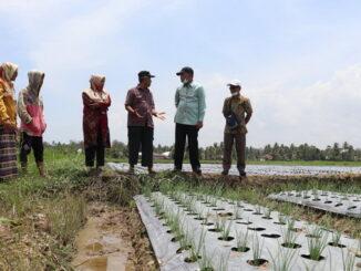 Kadis DP3 Pariaman saat meninjau ladang bawang merah masyarakat.