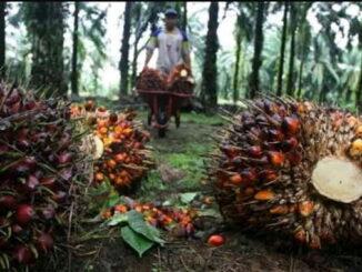 Petani sawit di Kabupaten Agam lagi memanen di kebunnya.