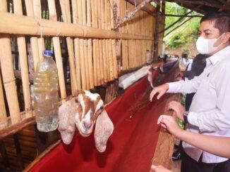 Walikota Sawahlunto Deri Asta saat meninjau Kelompok Peternak Harapan Bersama.
