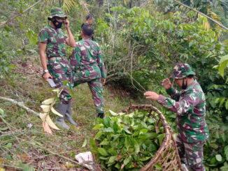 Anggota satgas TMMD ikut memetik daun gambir.