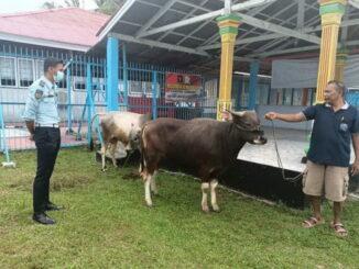 Dua ekor sapi kurban Lapas Pariaman.