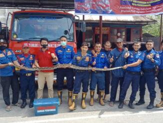 Ular yang berhasil ditangkap Damkar Kota Payakumbuh.