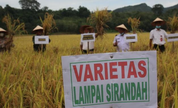 Wakil Bupati Sijunjung, Iradatilah tengah panen padi varietas Lampai Sirandah di lahan Kelompok Tani Famili Saiyo.