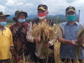 Gubernur Mahyeldi saat panen raya padi di Punggasan.