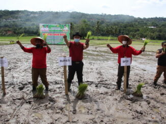 Penanaman padi serentak di Singkarak.